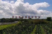 走访灵山百年荔枝示范区