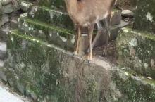 日本奈良神鹿的表现.