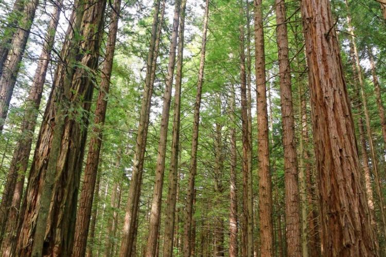 The Redwoods3