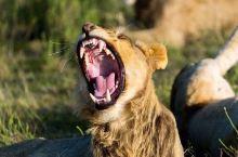 非洲大草原,与狮群狭路相逢