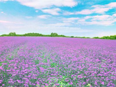 Tianhan Silk Road Ocean of Flowers