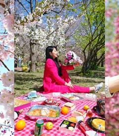 [旅顺口区游记图片] 再也不会有这样奢侈的一年,肆无忌惮沉迷于家乡的春天。(大连赏樱攻略)