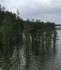 [靖江游记图片] 中山杉,那片水上的森林