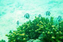 在玛玛努卡MANA拍摄的黑白小丑鱼