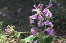 奥森公园的二月兰 与丁香花相比,二月兰更加的朴素,甚至没有丁春的那一种暗香浮动,但是树林里地下一片二