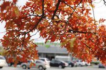 加拿大的红叶