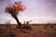 西部行39——衰老的胡杨·怪树林