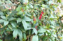 桂花树的红纸屑