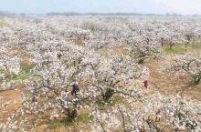 一年中最好看的时候,万亩梨花齐放,场面壮观。清明假期不错的去
