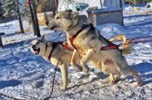 来自丘吉尔北极熊首都常驻居民的游记(三) 之前的2篇游记给大家介绍了来邱吉尔旅游需要做的准备和预定苔