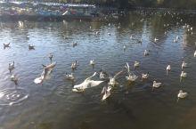 昆明翠湖公园红嘴鸥