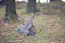 奈良公园日常--鹿与人的和谐共生