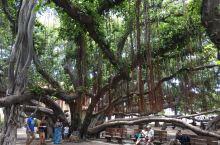 Lahaina 的大榕树