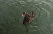 在颐和园昆玉河拍到的天鹅
