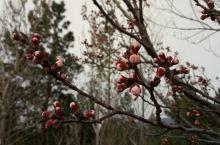 春意盎然-含苞待放-恒山后山之游。