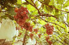 清徐特产 龙眼葡萄
