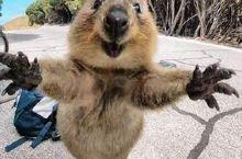矮袋鼠求抱抱