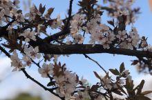 #春日寻芳# 樱花红陌上,一见倾人心