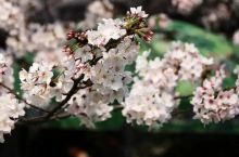 赏樱何必远行,带你逛吃逛吃玩转上海樱花圣地!
