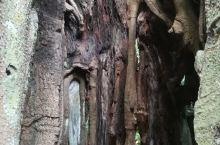 古榕部落的千年古榕和红树林