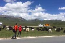 祁连山下的牦牛