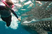 oslob大鲸鲨