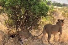 狮子妈妈带小狮子出来觅食