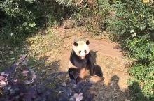 大熊猫吃苹果
