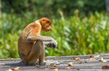 马来西亚人眼中最帅的猴子,列入濒危堪比大熊猫