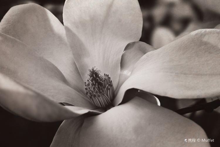 Magnolias, The3