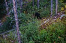 班夫国家公园,野生黑熊出现在我的缆车下