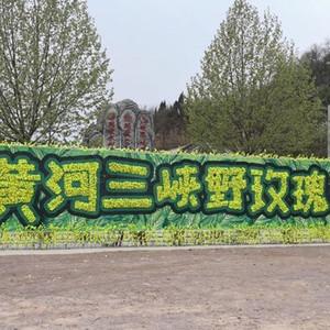 河南游记图文-邂逅河南黄河三峡野玫瑰