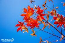本溪枫叶节,看山间跳跃的红精灵