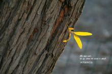秋风把胡杨树的叶子染黄了~~~