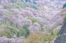 吉野山千万樱花共同盛开,太美太美