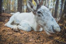 敖鲁古雅,最后的使鹿部落