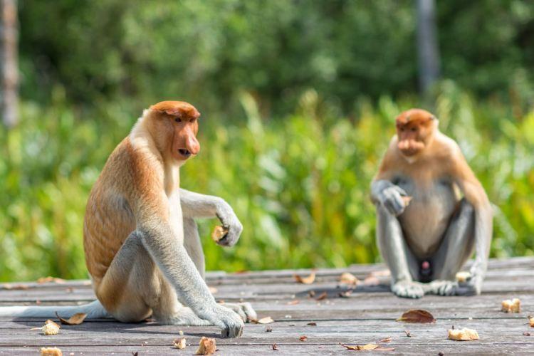 拉蔔灣長鼻猴保護區2