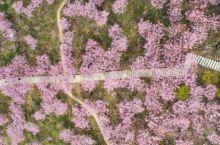 突然登上热搜的冷门小城,2千亩樱花海已进入最佳观赏期,浪漫至极!