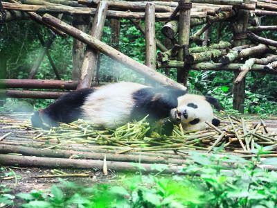 청두 판다 생태원 관광 박물관