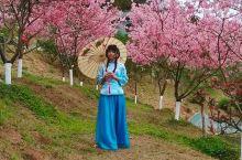 樱花是早春重要的观花树种,象征热烈、纯洁、高尚。「翁源东华禅寺」樱花盛开,花繁艳丽,满树烂漫,如云似