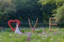 无锡  鼋头渚 景区的花菖蒲1996年起从日本引进栽培的,至今已有近二十年的历史。因为鼋头渚比邻 太
