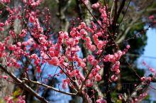 喜欢这样的感觉,梅花开枝头摇曳多姿,太美了!
