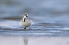 春秋两季,我曾十多次来到江苏南通如东县洋口湿地,湿地位于东亚-澳大利西亚候鸟迁飞路线上,曾记录迁徙水