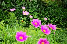 白川乡合掌村里各种美好的花儿