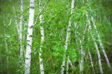 风雨飘摇的白桦林,有一种动人心魄的别样美丽,……