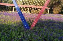 沈水湾公园的薰衣草园。