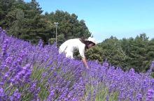 北海道VLOG|以薰衣草之名の和服之旅 7月的北海道好像出自画家之手 用色彩勾勒线条 富良野的薰衣草