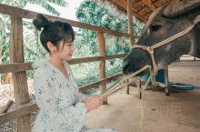 去琅勃拉邦光西瀑布的路上首先会路过水牛牧场,可以顺道过去玩。 牧场里能够看水牛、给水牛洗澡、喂小水牛