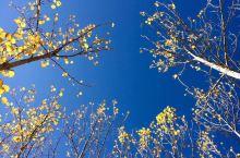 """拉萨河南岸的杨树林, 金秋时节,拉萨河两岸杨树披上""""金装""""。 吉曲河与那一抹斑斓秋色的爱恋秋,心里最"""