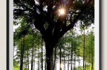 东莞植物园是闹市中的憩息地。尤其是黄昏时,那淡淡的夕阳,那斜斜的光影,那艳艳的晚霞,那翠翠的丛林,那